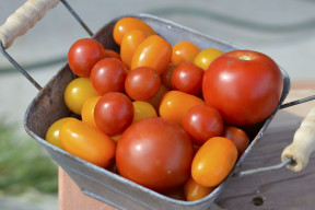basket of tomatoes with text