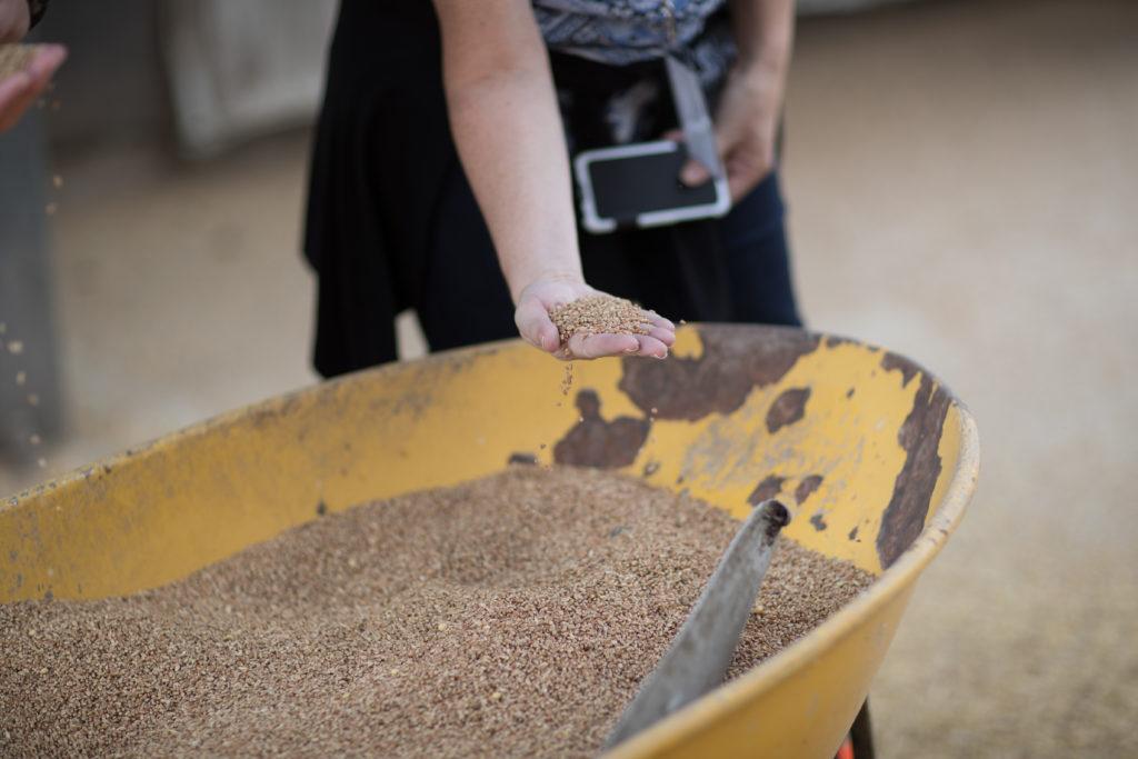 oats in a wheel barrow