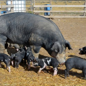 The Farm to Table Connection: Pig Farming