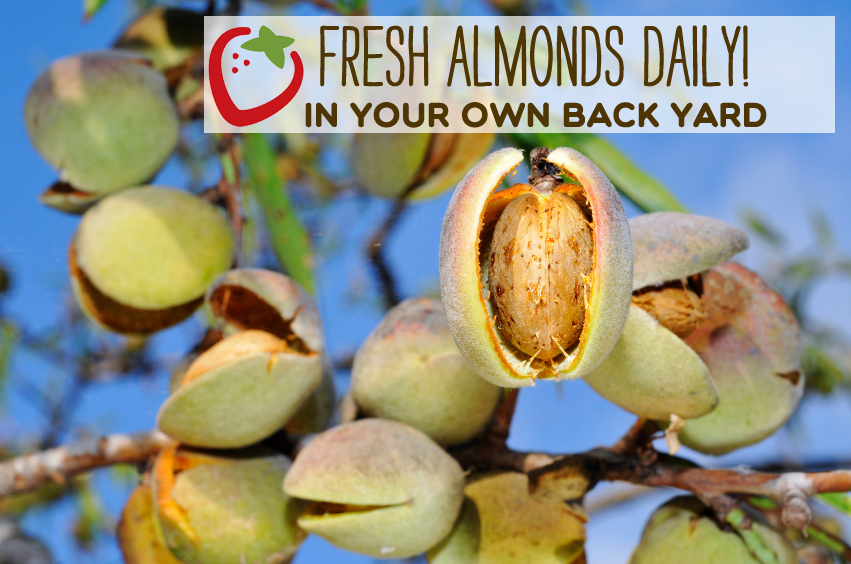 a branch of almond tree with fruits