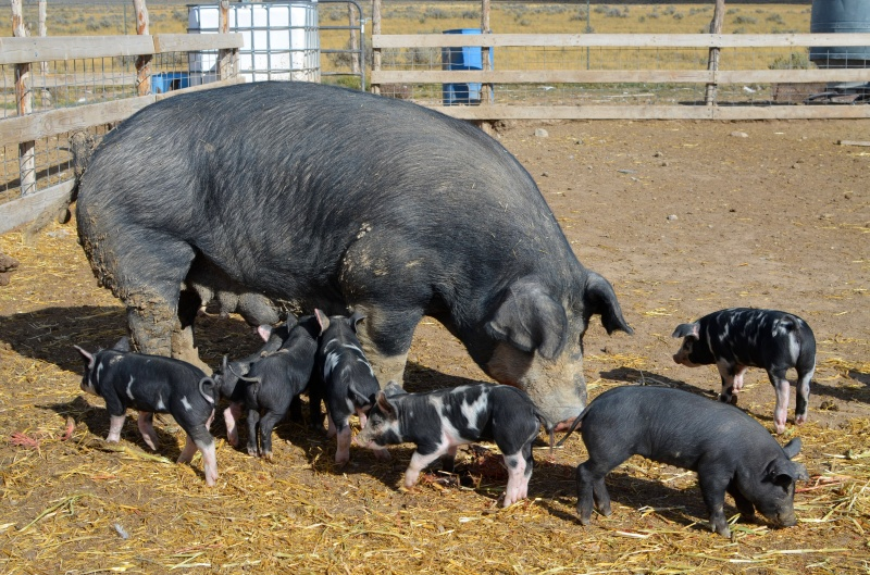 The Farm To Table Connection Pig Farming Healthy Ideas For Kids